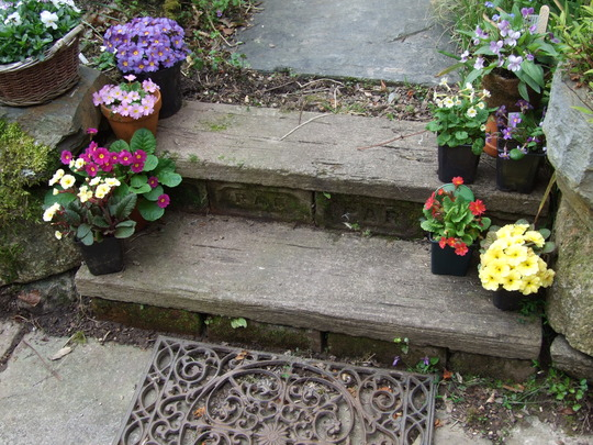 Group_of_Primula_up_steps..jpg