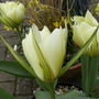 Tulips_green_flamed_