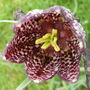 Fritillaria 'Snakes Head '