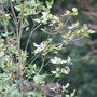 Eucryphia_with_goldfinch