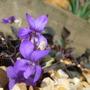A garden flower photo (viola laboradorica)