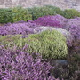 Spring-flowering heathers at the entrance to a local park.
