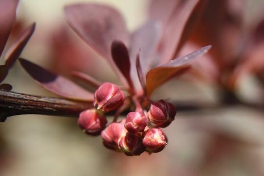 Berberis buds