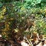 Berberis_x_stenophylla_irwinii_