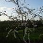 Prunus cerasifera 'Trailblazer' (Prunus cerasifera (Purple plum))