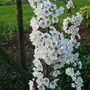 Prunus cerasifera 'Trailblazer' (Prunus cerasifera (Purple plum))
