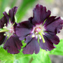 Geranium Phaeum Samobor taken April 2005 (Geranium phaeum (Mourning widow))