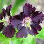 Geranium Phaeum Samobor taken April 2005