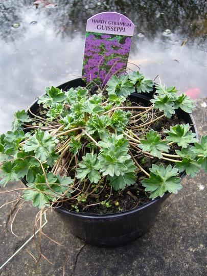 Geranium 'Guisseppe' (Geranium 'Guisseppe')