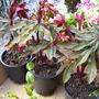 Euphorbia_purpurea_14.4.10