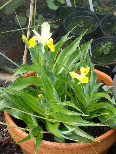 Iris bucharica (Iris bucharica (Iris))