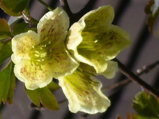 Clematis (Clematis cirrhosa var balearica)