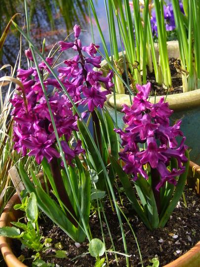 woodstock (Hyacinthus orientalis (Hyacinth))