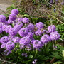 Primula_denticulata_14.4.10