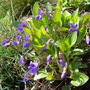 Viola on my rockery (Viola odorata)