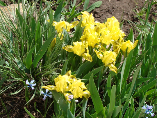 Flowering Irises...ahhhh (Iris pumila)
