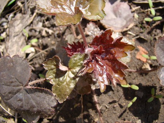 "Heuchera ""Palace Purple"" seedling (Heuchera americana)"