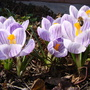 My little beauties... (Crocus vernus)