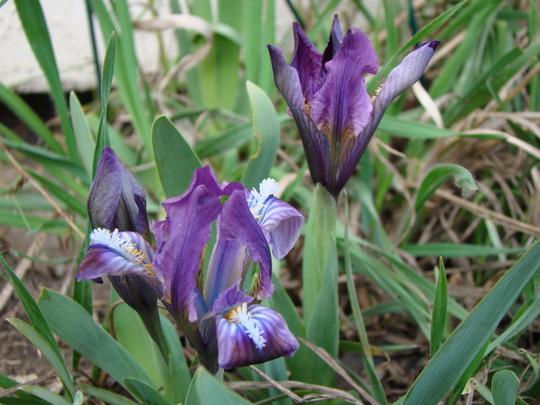 Irises (Iris pumila)