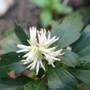 Pachysandra flower (Pachysandra terminalis (Pachysandra))