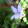 Wild_violet_mauve_form_2010