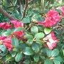 Rhododendron_lori_eichelser_2010
