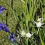 Louisiana Iris+white spiderlily