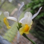 dutch iris dancing.jpg (Iris xiphium (Dutch Iris))