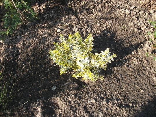 A garden flower photo (Euonymus)