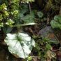 Cyclamen leaf (Cyclamen hederifolium (Hardy cyclamen))