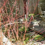 Cornus sanguinea (Common dogwood)