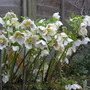 White Hellebores (Helleborus orientalis (Lenten rose))