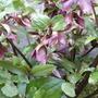 Dark red Hellebore (Helleborus orientalis (Lenten rose))