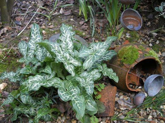 Arum italicum 'Pictum' (Arum italicum 'Pictum')