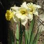 daffodils...fading away now