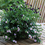 Bacopa and Viola Midnight Runner