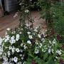 Clematis florida sieboldii, Superpetunia and Tobacco plant