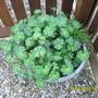 blue geranium -not in flower yet!