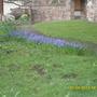 muscari -grape hyacinth