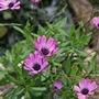 osteospermum in dark pink