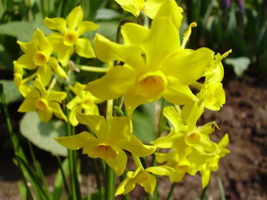 Daffodil Baby Moon (Narcissus jonquilla (Jonquil))