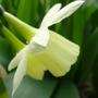 Narcissus triandrus (Angels Tears)
