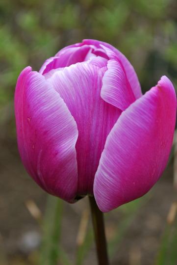 Tulip.......Part of a passion group (Tulip Purple Passion)