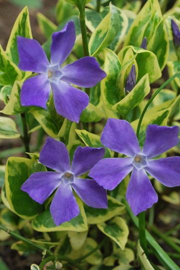 Vinca Major Variegata.  (Vinca major (Greater Periwinkle) variegata)