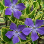 Vinca Major Variegata.  (Vinca major (Greater Periwinkle) variegata)