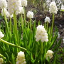 Muscari Alba (Muscari botryoides (Grape hyacinth))