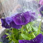 Water cascading onto Pansy: F1 Purple