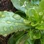Water on foliage......