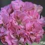 Pelargonium 'Eureka' (Pelargonium 'Eureka')