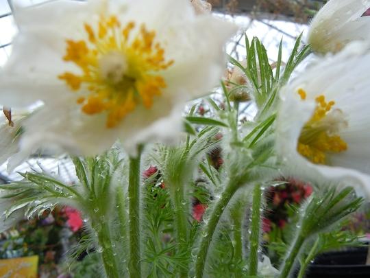 Spring Visions - Pulsatilla (Pulsatilla alba (Sasanka))